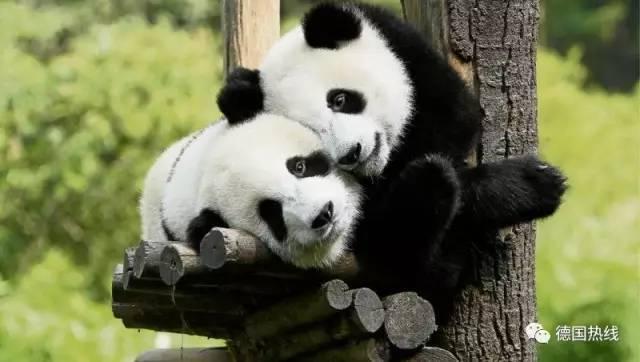 """中国大熊猫""""梦梦""""""""娇庆""""7月6日将与游客见面"""