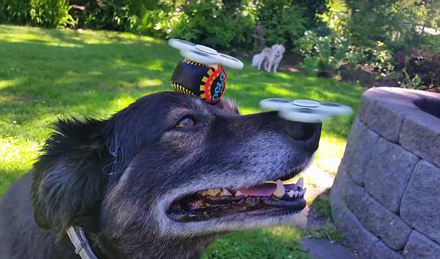 美小狗头顶2个指尖陀螺 展现惊人平衡力