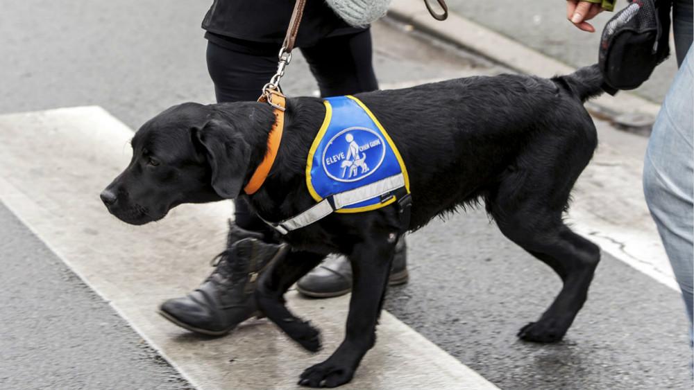 狗毛影响自助餐卫生?法国一亚洲餐馆拒绝导盲犬入内