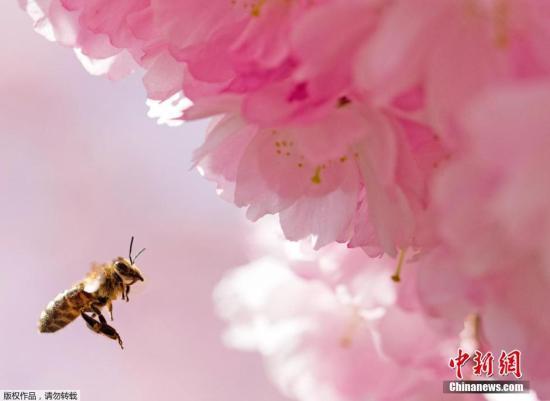 蜜蜂危机?爱尔兰和美国研究人员联手拯救小蜜蜂