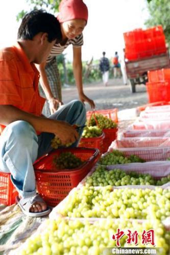 逾200种葡萄亮相第26届中国丝绸之路吐鲁番葡萄节