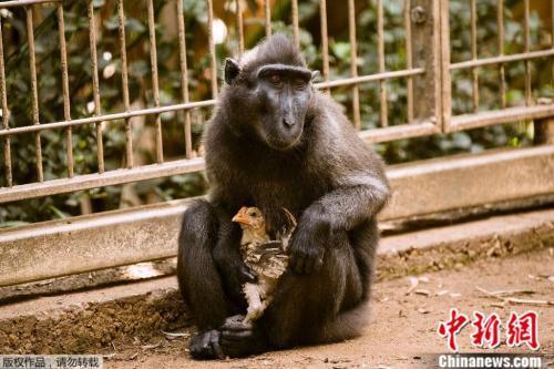 同吃住同玩耍:黑冠猕猴与小鸡的跨物种友谊