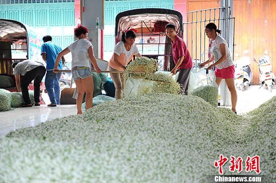 """""""中国茉莉之乡""""广西横县打造世界茉莉花茶中心"""