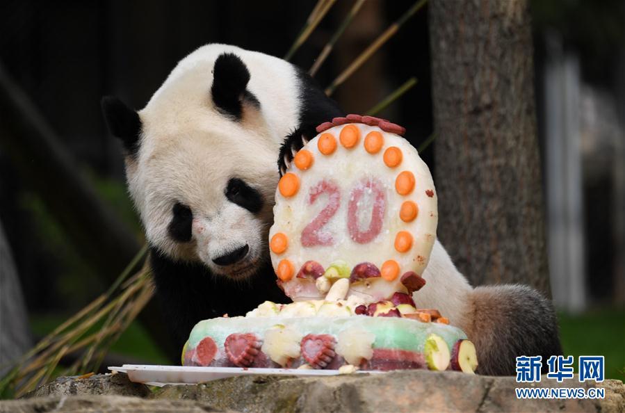 """旅美大熊猫""""添添""""庆祝20岁生日"""